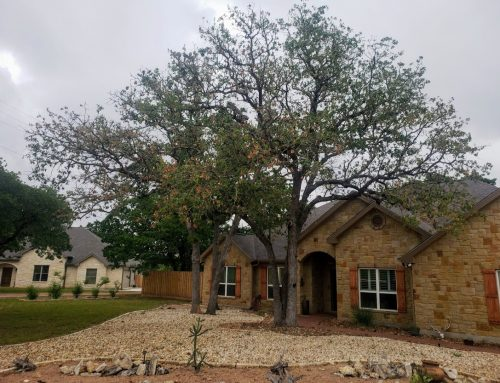 Tree Management in Kerr County: Oak Wilt Identified in Post Oak